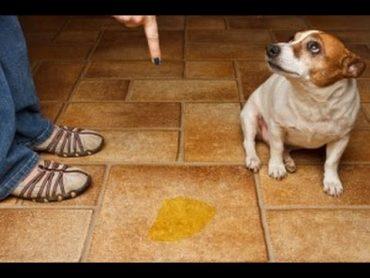 Tư vấn các cách dạy chó đi vệ sinh đúng chỗ cực kỳ hiệu quả